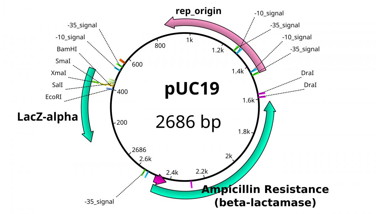 pUC19