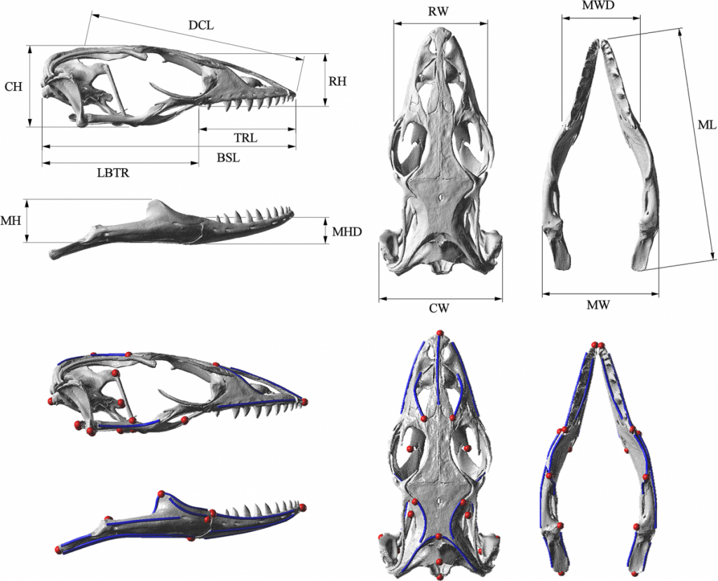 Landmarks and measurement metrics for the morphometric analysis of fossils.