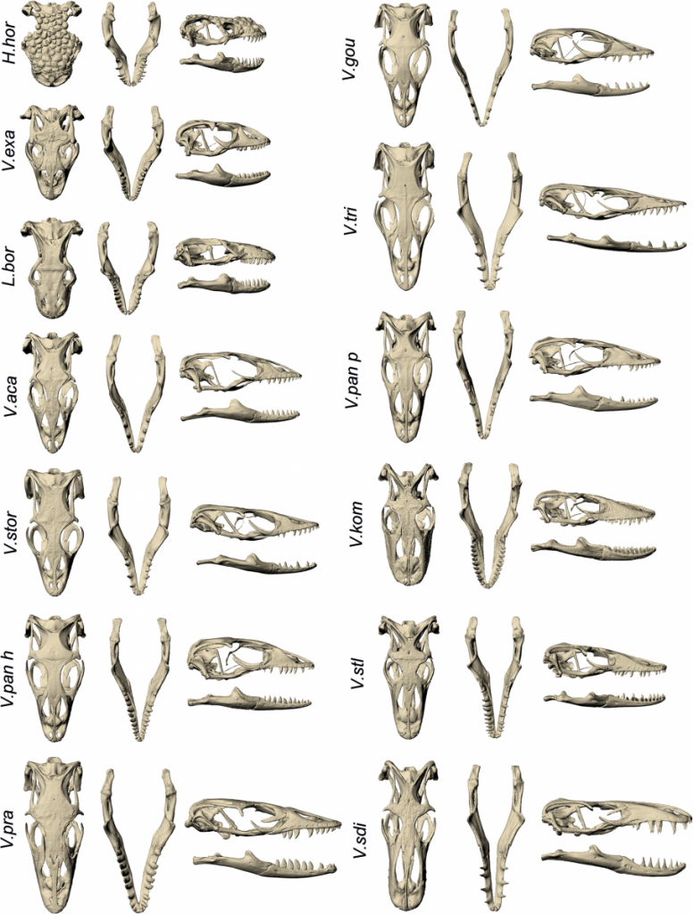 Skulls of the species involved in this analysis.