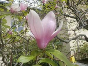 Saucer Magnolia - Tint tonal progression
