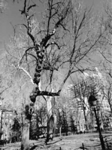 Hangman's Elm Tree