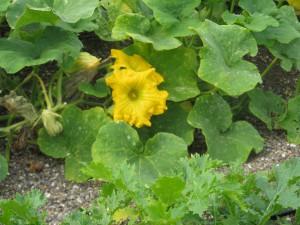 Squash Blossom