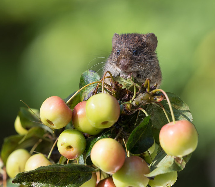 Vole sitting on a branch eating apples.