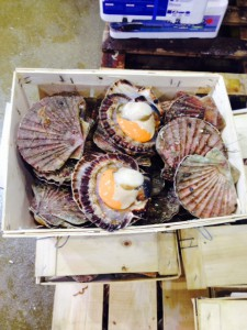 Scallops in their shell.