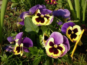 pansy-318014_1920=300