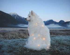 snow white dog wrapped in yellow christmas lights