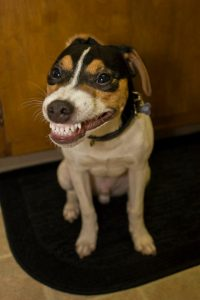 dog smiling showing teeth